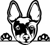 Animal Dog Rat Terrier B Rg6H Peeking.eps poster