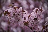 Cherry Blossom, Sakura Flowers Isolated On White Backgroundcherry Blossom, Sakura Flowers Isolated O poster