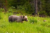 picture of grizzly bear  - Female grizzly bear and cub feeding on grass - JPG