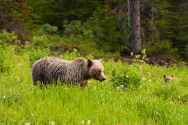 stock photo of grizzly bear  - Female grizzly bear and cub feeding on grass - JPG