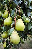 Juicy Pears On Tree