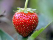 Fresh strawberry (closeup shot)