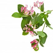 Sprig of honeysuckle with pink flowers isolated on white background