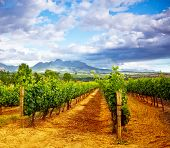 Picture of winery garden, blue sky, beautiful agricultural landscape, harvest season, grapes valley,
