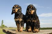 Two Puppies Purebred English Cockers poster