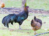 foto of leghorn  - hen outside - JPG