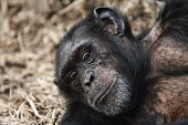 A Chimpanzee With Telling Look