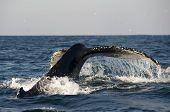Fluke Of Humpback Whale Spray