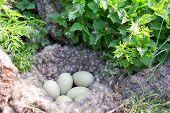 Eider down: nest of the Common Eider