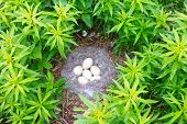 Nest of the Barnacle Goose with eggs