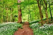 image of canopy  - Shady path running through an English woodland with a fresh leafy canopy of trees and floor carpeted with wild garlic - JPG