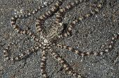 Mimic Octopus On Sand In Lembeh Straits