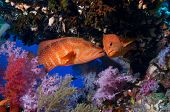 Cephalopholis miniata, two coral groupers kissing in a cave