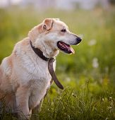 Portrait Of A Beige Not Purebred Dog In An Old Collar. poster