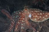 Starry Night Octopus In Lembeh Straits