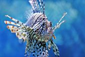 image of fire coral  - beautiful lionfish swimming in the water column - JPG