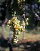 White grapes on vine, Italy.