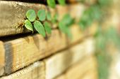 stock photo of climber plant  - the green creeper plant on red brick wall - JPG
