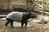 pic of tapir  - It is image of tapir in zoo - JPG