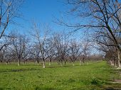 pic of pecan tree  - A grove of pecan trees in the winter time with beautiful green grass and blue sky - JPG