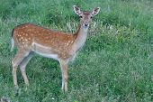 female sika deer in the green grass