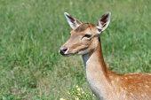 female sika deer