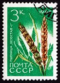 Postage Stamp Russia 1964 Wheat, Triticum Spp., Cereal Grain