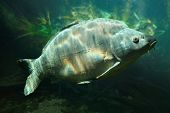 Underwater photo of a trophy Mirror Carp (Cyprinus Carpio) sunbathing nearly at level in a fish pond