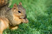 Closeup of young Fox squirrel