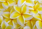 image of plumeria flower  - a background of yellow plumeria blossoms from Hawaii - JPG
