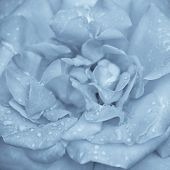 Abstract Macro Shot Of Beautiful Blue Rose Flower With Water Drops. Floral Background