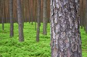 pic of pinus  - Photo of pine trunk  - JPG