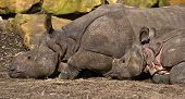 Indian Rhinoceros-mother And Kid