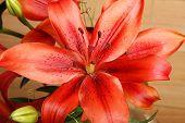 Lilium Flower.