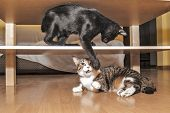 stock photo of struggle  - Tabby cat and bombay kitten in struggling - JPG