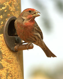 picture of crossbill  - A red crossbill munches on a sunflower seed out of the bird feeder. ** Note: Slight graininess, best at smaller sizes - JPG
