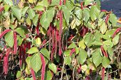 Beautiful Acalypha Pendula Or Firetail Plant