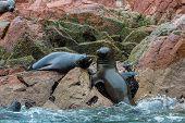 South American Sea Lions Relaxing On Rocks Of Ballestas Islands In Paracas National Park,peru. Flora