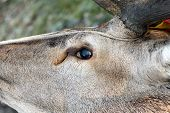 stock photo of cervus elaphus  - hunted red deer ( cervus elaphus ) eye detail