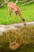 Deer Drinking Water