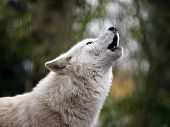 image of north american gray wolf  - A howling white Hudson Bay Wolf with a green background - JPG