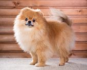 stock photo of pomeranian  - Studio portrait Pomeranian dog on a background wooden wall - JPG