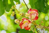 pic of cannonball-flower  - Shorea robusta or Cannonball flower from the tree - JPG