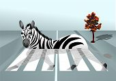 picture of zebra crossing  - zebra in the city - JPG