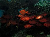 picture of bigeye  - A school of common bigeyes under table coral - JPG