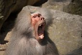 Baboon with mouth wide open