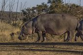African Hippo