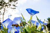 Beautiful Blue Morning Glory