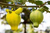 Solanum Mammosum Plant