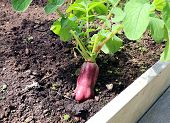 Ripe Oblong Red Radish
